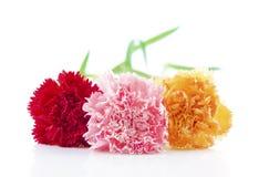 De bloem van de anjer Royalty-vrije Stock Foto