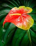 De bloem van de anthurium Royalty-vrije Stock Afbeeldingen