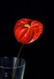 De bloem van de anthurium Stock Afbeeldingen