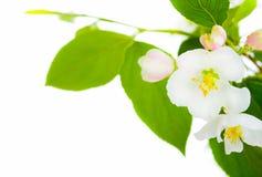 De bloem van de appel Stock Foto