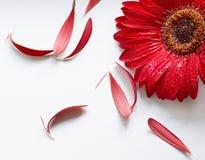 De bloem van de aster Stock Afbeelding