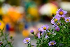 De bloem van de aster Royalty-vrije Stock Foto's