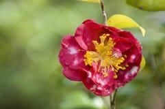 De bloem van de azalea royalty-vrije stock foto's