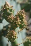 De bloem van de begincactus Royalty-vrije Stock Fotografie