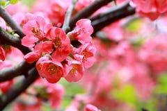 De bloem van de begonia Royalty-vrije Stock Foto