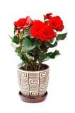 De bloem van de begonia Stock Foto's