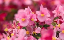 De bloem van de begonia Royalty-vrije Stock Foto's