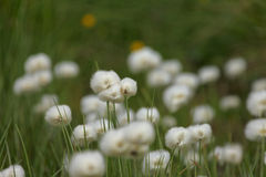 De bloem van de berg Stock Foto