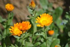 De bloem van de berg Stock Afbeelding