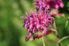 De bloem van de bijenbalsem Royalty-vrije Stock Afbeelding