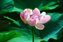 De bloem van de bloeilotusbloem Stock Afbeeldingen
