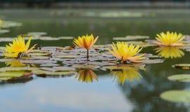 De bloem van de bloesemlotusbloem in Thailand Stock Foto