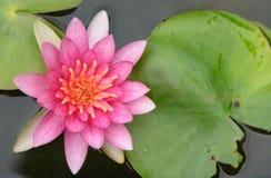 De bloem van de bloesemlotusbloem in Thailand Stock Afbeelding