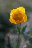 De bloem van de bol Royalty-vrije Stock Foto's