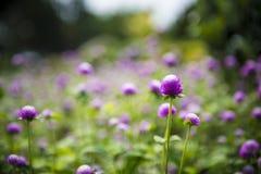 De bloem van de bolamarant Stock Afbeeldingen