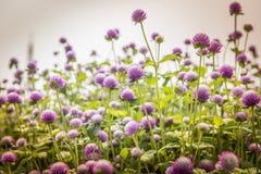 De bloem van de bolamarant Royalty-vrije Stock Afbeeldingen