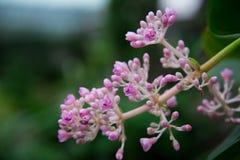 De bloem van de broekboom stock foto's