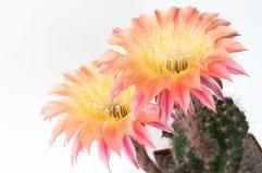 De Bloem van de cactus Royalty-vrije Stock Fotografie