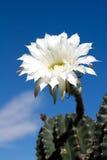 De Bloem van de cactus Stock Afbeelding