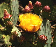 De Bloem van de cactus stock foto's