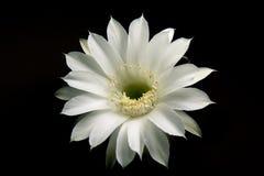 De Bloem van de cactus Stock Afbeeldingen
