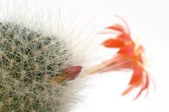 De bloem van de cactus Stock Foto