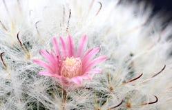 De Bloem van de cactus, Cactus, Aard, Installatie, Royalty-vrije Stock Fotografie