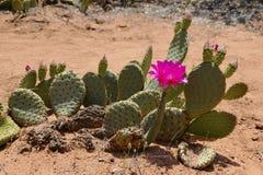 De Bloem van de Cactus van de woestijn stock foto's