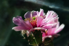 De bloem van de cactus, Vijgencactus Royalty-vrije Stock Afbeelding