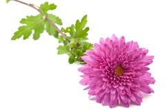 De bloem van de chrysant royalty-vrije stock foto's