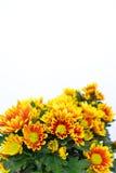 De bloem van de chrysant. Royalty-vrije Stock Afbeelding