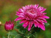 De bloem van de chrysant stock afbeelding