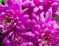 De Bloem van de chrysant stock fotografie