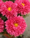 De bloem van de chrysant Royalty-vrije Stock Afbeeldingen