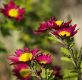 De bloem van de chrysant met wilde bij op het. royalty-vrije stock fotografie