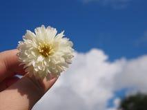 De bloem van de chrysantenthee Stock Afbeeldingen