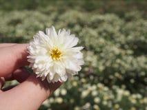 De bloem van de chrysantenthee Royalty-vrije Stock Fotografie
