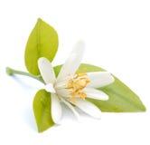 De bloem van de citroen Stock Foto