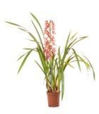 De bloem van de cymbidiumpot van orchideeën royalty-vrije stock afbeeldingen