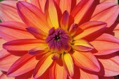 De bloem van de dahlia Royalty-vrije Stock Afbeeldingen