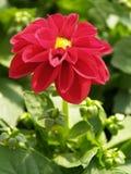 De bloem van de dahlia Stock Afbeeldingen