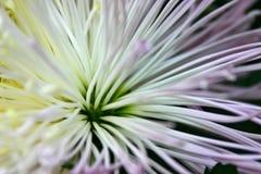 De Bloem van de dahlia Royalty-vrije Stock Foto's