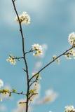 De bloem van de de lenteboom en blauwe achtergrond royalty-vrije stock foto's