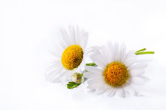 De bloem van de de madeliefjeszomer van de kunst die op wit wordt geïsoleerdl Stock Foto