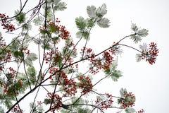 De bloem van de de Vlamboom van Caesalpiniapulcherrima Royalty-vrije Stock Afbeelding