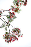 De bloem van de de Vlamboom van Caesalpiniapulcherrima Royalty-vrije Stock Foto