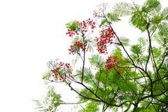 De bloem van de de Vlamboom van Caesalpiniapulcherrima Stock Foto's