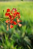 De bloem van de de Vlamboom van Caesalpiniapulcherrima Stock Afbeeldingen