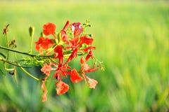 De bloem van de de Vlamboom van Caesalpiniapulcherrima Stock Foto