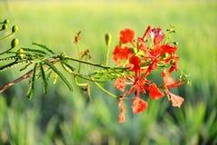 De bloem van de de Vlamboom van Caesalpiniapulcherrima Stock Fotografie